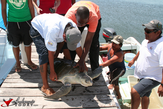 Hol Chan Tags & Releases First Olive Ridley Turtle in Belize