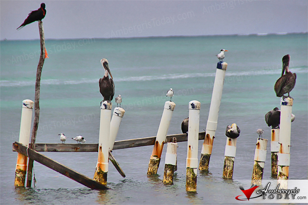 Pelicans and seagulls perched on pier stilts in Caye Caulker, Belize