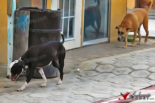 Stray dogs are a big problem on the island of Ambergris Caye