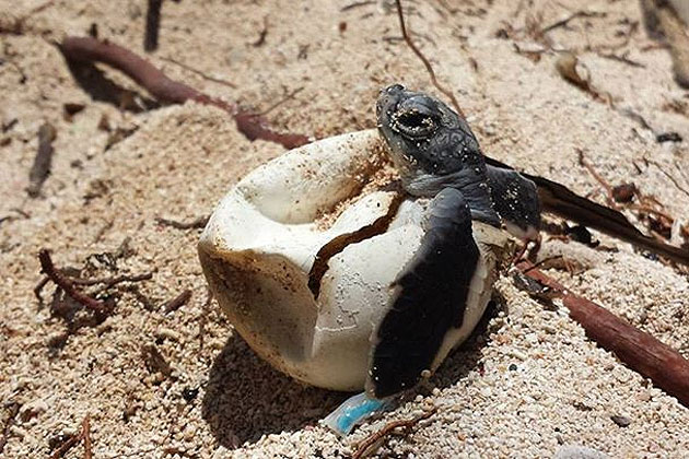 Hundreds of Sea Turtle Nests found on Ambergris Caye