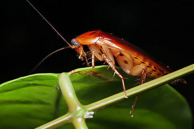 Cockroach in the wild