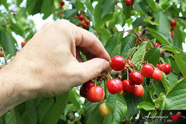 Picking Dane Cherries - By Chris Emmanuel