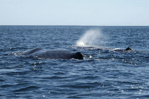 Local Belize Divers Encounter Pod of Sperm Whales in Migration