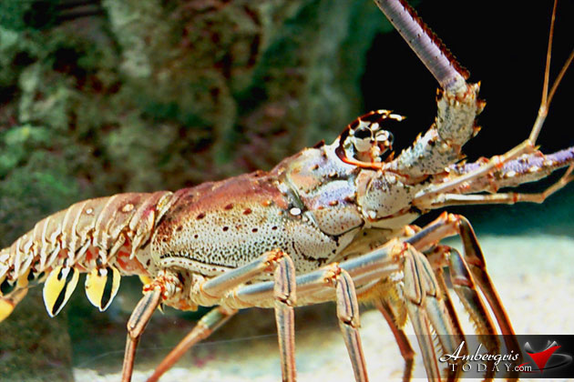 Caribbean Fisheries Forum to Review Regional Spiny Lobster Declaration