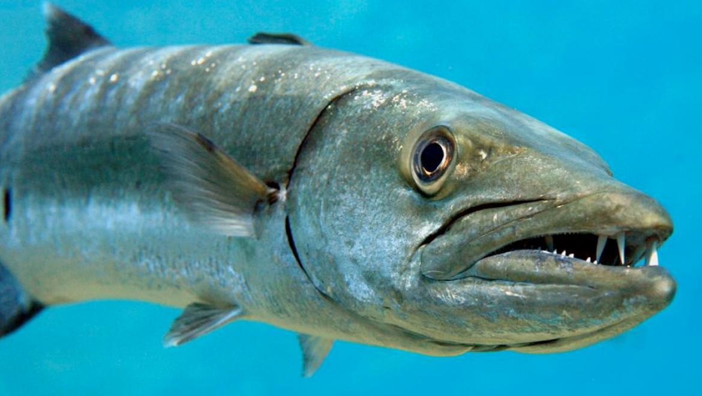 Suspected Ciguatera Poisoning Detected in Fish Consumers
