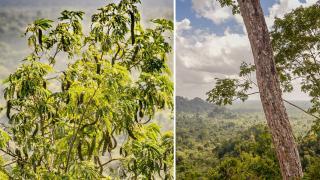 New Tree Species Discovered in Toledo, Belize