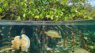New Mangroves Regulations Emphasizes More on Conservation and Management
