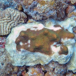 Hol Chan's Corals are Sick, Locals Administering Antibiotics