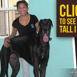 Great Dane visits Pampered Paws