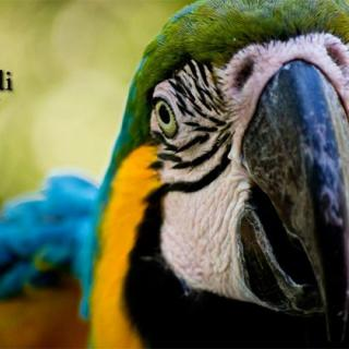 JCariddi Photography, Blue and Yellow Macaw- by Jonathan Cariddi