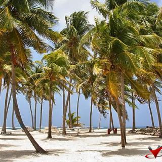 Coconut Trees at Half Moon Caye, Belize