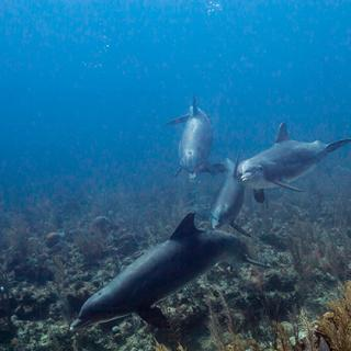Happy Dolphins Make for Happy Diving in Belize