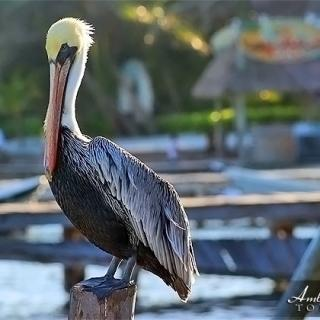 A Pelican's Life in San Pedro, Ambergris Caye