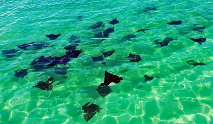 Beautiful Gathering of Spotted Eagle Rays on Ambergris Caye