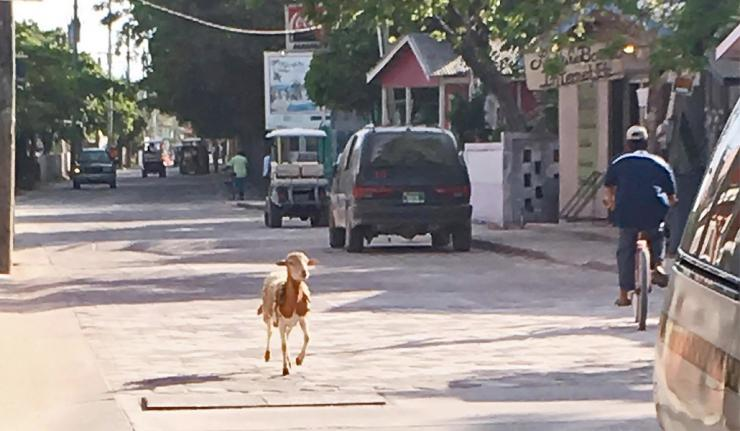 Why Did the Sheep Cross the Road on Ambergris Caye?